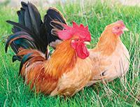 Coq poule naine race chabo nagasaki a vendre elevage sm