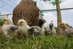 Edible schoolyard nyc chicken coop chicks