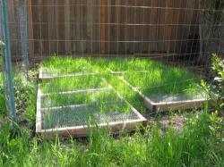 Grow grass city chickens
