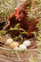 Hen w eggs in rosemary