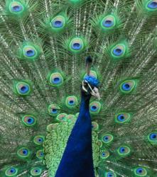 Le paon bleu 66036 w460