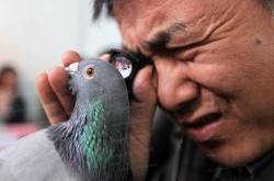 Les riches chinois achetent des pigeons de concours comme un amateur d art s offrirait un rubens ou un rembrandt photo afp